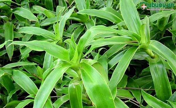 Cây lược vàng chứa những hợp chất giúp chống lại ung thư vòm họng