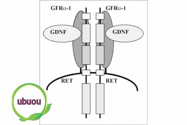 Gen RET bị tổn hại có khả năng di truyền từ bố mẹ sang con